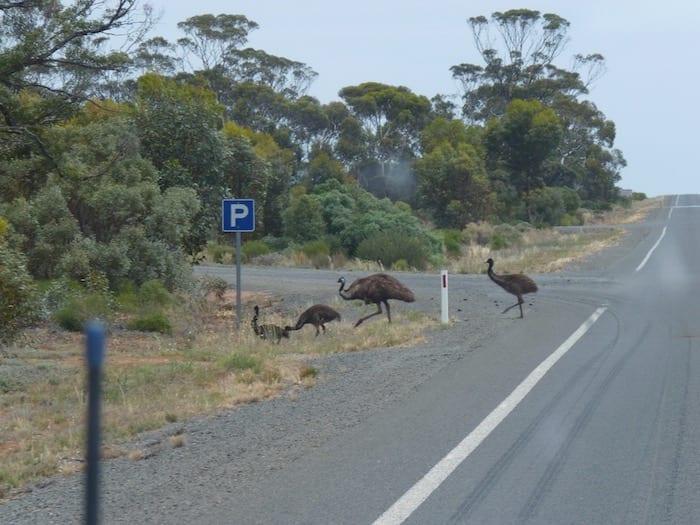 Emus On Eyre Highway Nullarbor Plain
