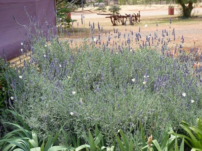 Lavender Bush Fraser Range Station WA