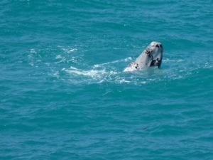 Head Of The Bight South Australia Whale Watching