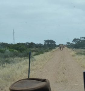 Old Eyre Highway with Camel, Border Village