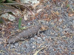Stumpy Tail Lizard Fraser Range Station WA