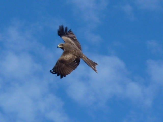 Hawk, Burke Developmental Road Channel Country Queensland