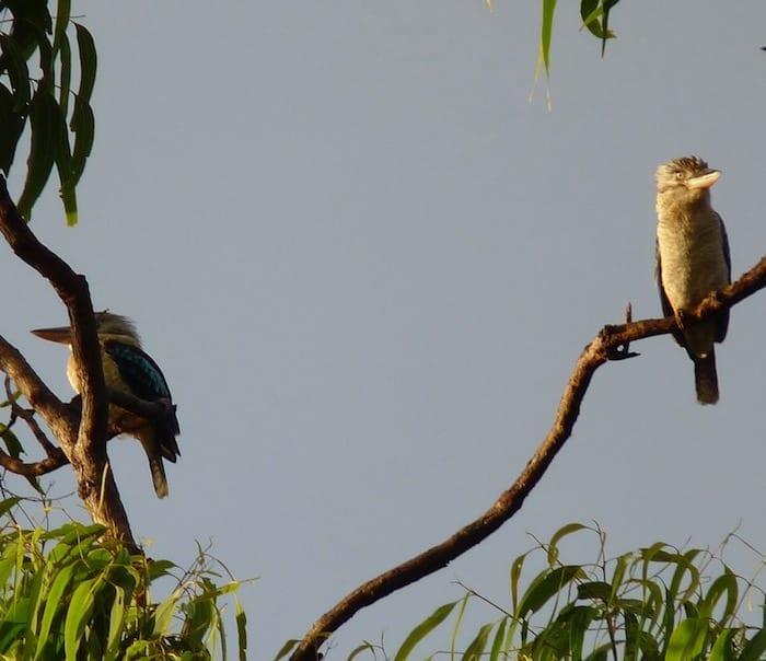 Blue Winged Kookaburras, Burke Developmental Road Channel Country Queensland.JPG