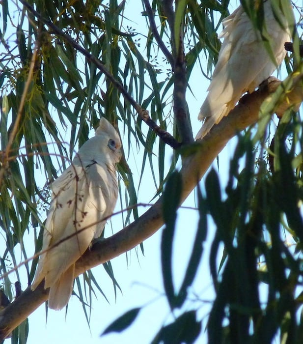 Corellas Remote Camping Welford National Park