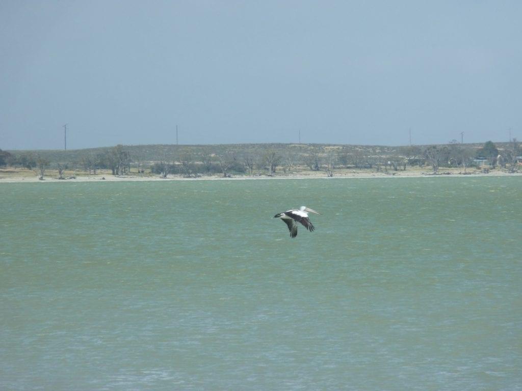 Pelican Murray River South Australia