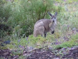 Kangaroo, Mambray Creek Campground, Mt Remarkable National Park, South Australia