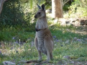 Kangaroo, Mambray Creek Campground, Mt Remarkable National Park South Australia