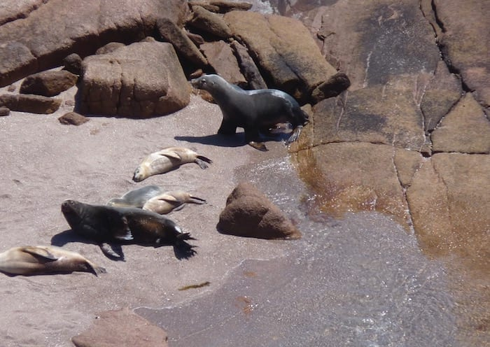 Sea Lion Colony Point Labatt South Australia