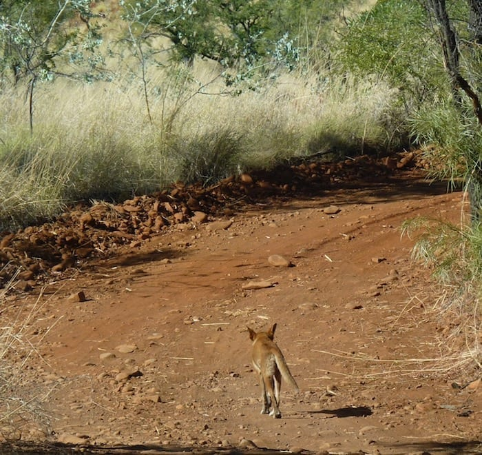 A dingo trotting along the track, Mornington Wildlife Sanctuary.