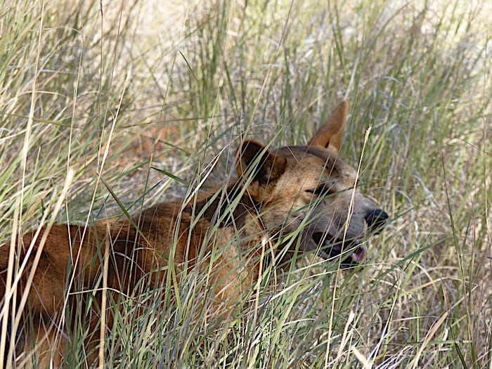A dingo in the spinifex, Mornington Wildlife Sanctuary.