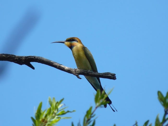 A beautiful rainbow bee-eater, Mornington Wilderness Camp.