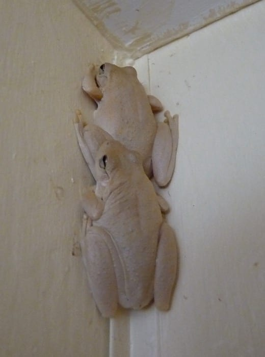 Frogs in the shower recess. Drysdale River Station.