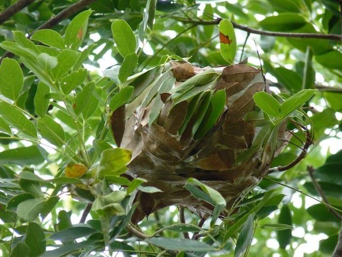 Green ant nest, Kununurra.