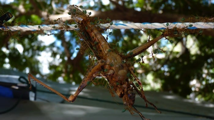 These determined green ants spent an entire day carrying a giant grasshopper across about 5 metres of rope. Kununurra.
