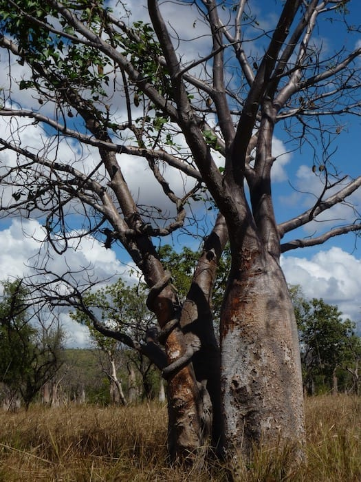 A boab and a vine locked in a slow battle for supremacy. Wyndham Western Australia.