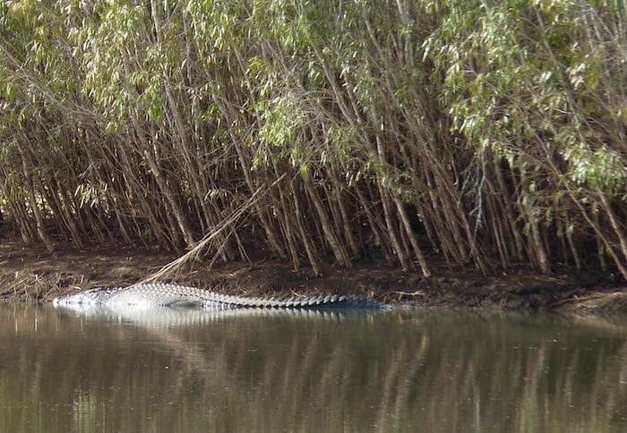 A large saltwater crocodile on the far bank of the Old River. Wyndham Western Australia.