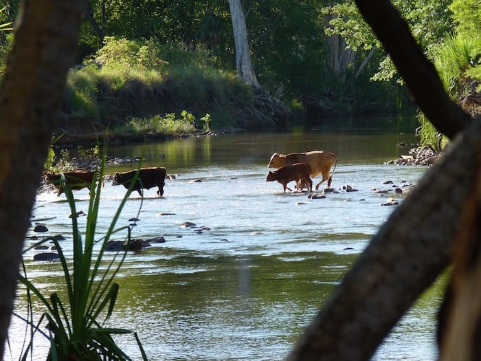 Cattle crossing downstream. El Questro Station Kimberleys.