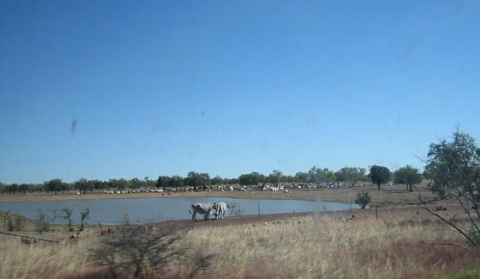 Cattle enjoying a drink. Stuart Highway, Northern Territory. Mataranka To Tennant Creek.