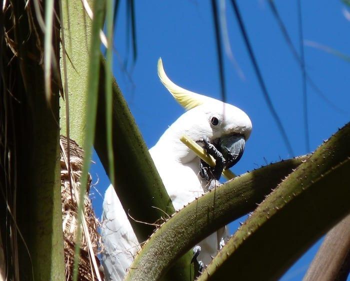 A cockatoo having lunch, Mataranka Thermal Pools.
