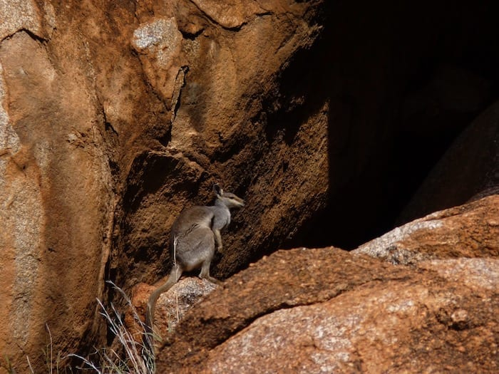 A lone rock wallaby. Devils Marbles.
