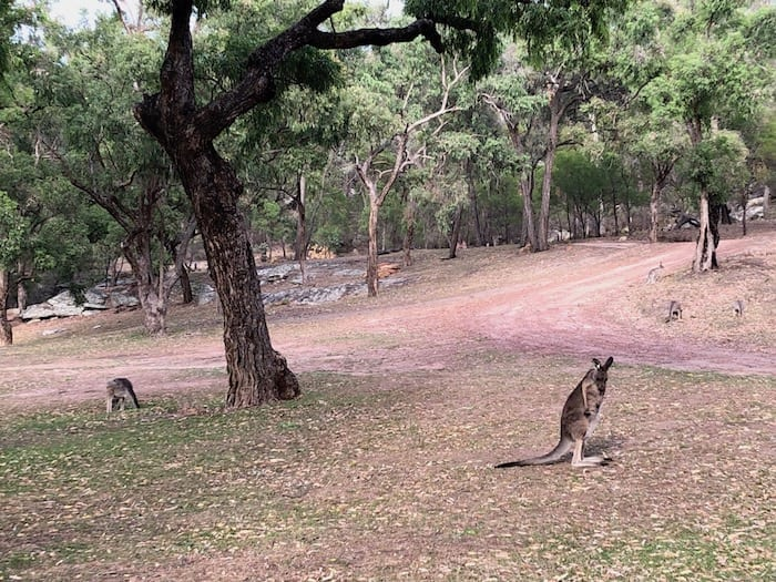 Kangaroos in the early morning, Goulburn River National Park.