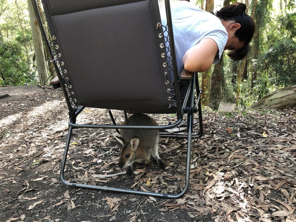 Wallaby hiding under a chair. Gap Creek Campground, Watagans National Park.