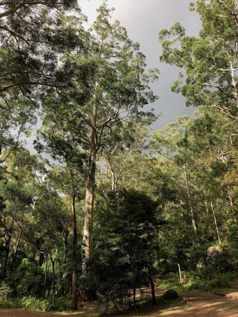 Dark rain clouds through huge gums. Gap Creek Campground, Watagans National Park.
