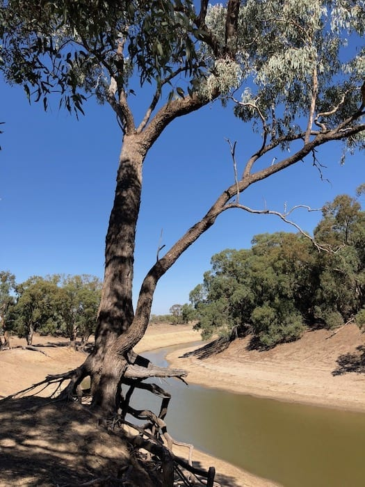 River red gum clinging to the banks of the Darling River.