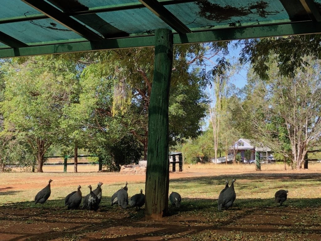 A flock of guinea fowl roamed the town at Chillagoe.