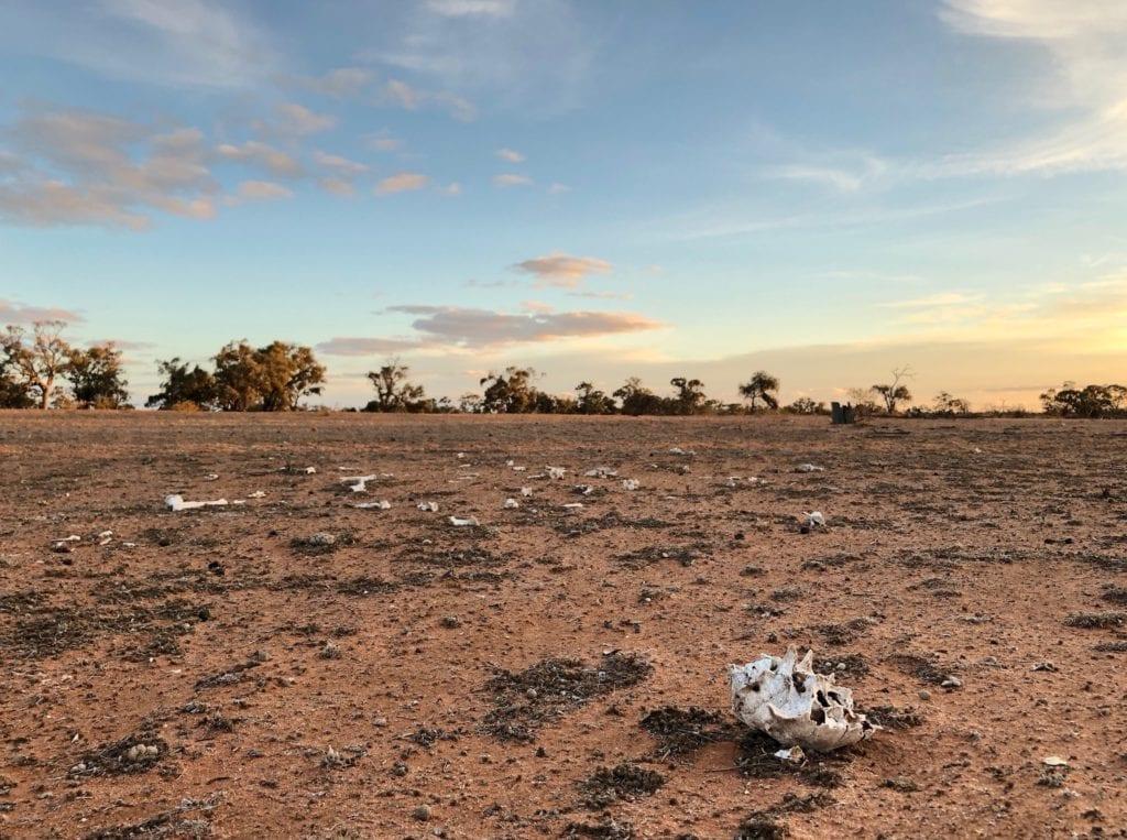 Sun-bleached bones on barren ground. NSW drought.