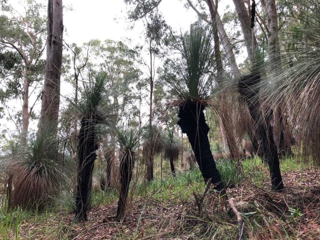 Thousands of grass trees on the Ridge Track walk. Main Range National Park.