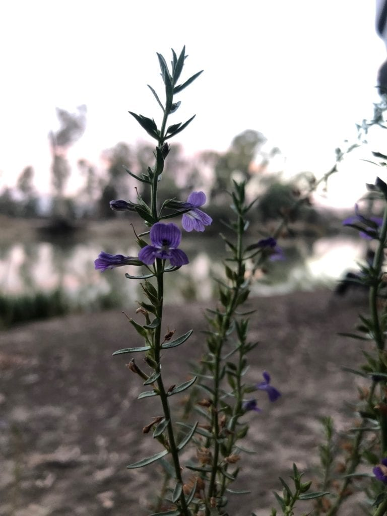 Camping On The Murray River. This pretty purple flower was a favourite with the bees.