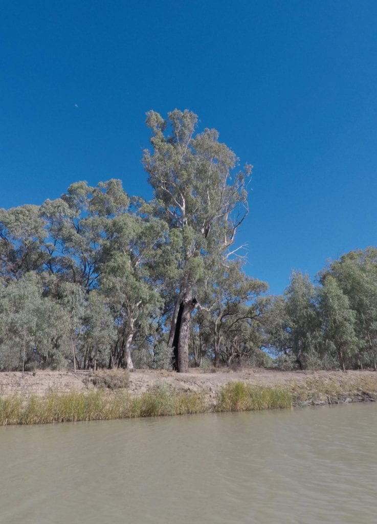 Kayaking The Murray River. Old river red gums line the banks.