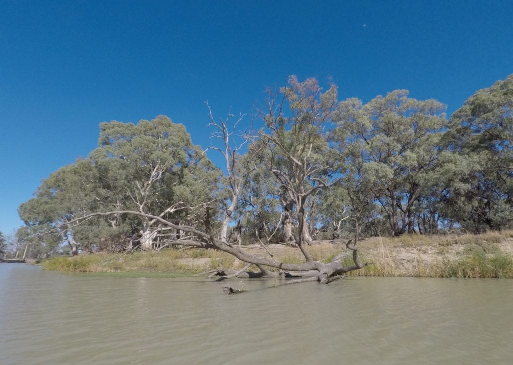 Kayaking The Murray River. Watch out for the dead trees in the water.