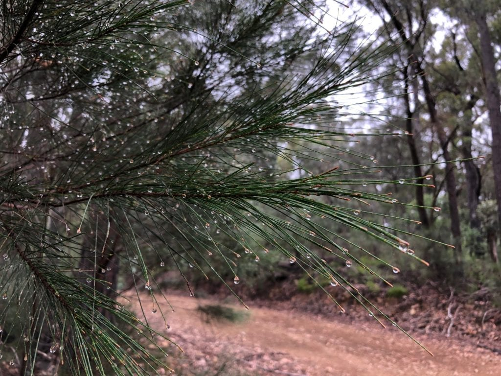 Dew on pine needles, Wadbilliga National Park.